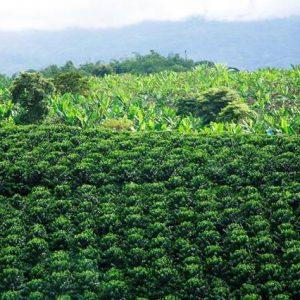 Tour Aroma di Caffe e Caraibi - Triangolo del Caffe