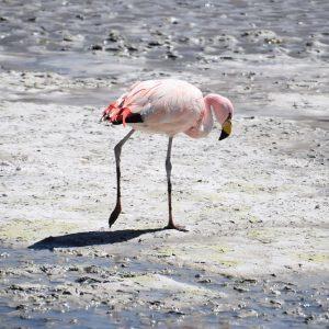 bolivia a-flamingo bolivia la rotta delle emozioni