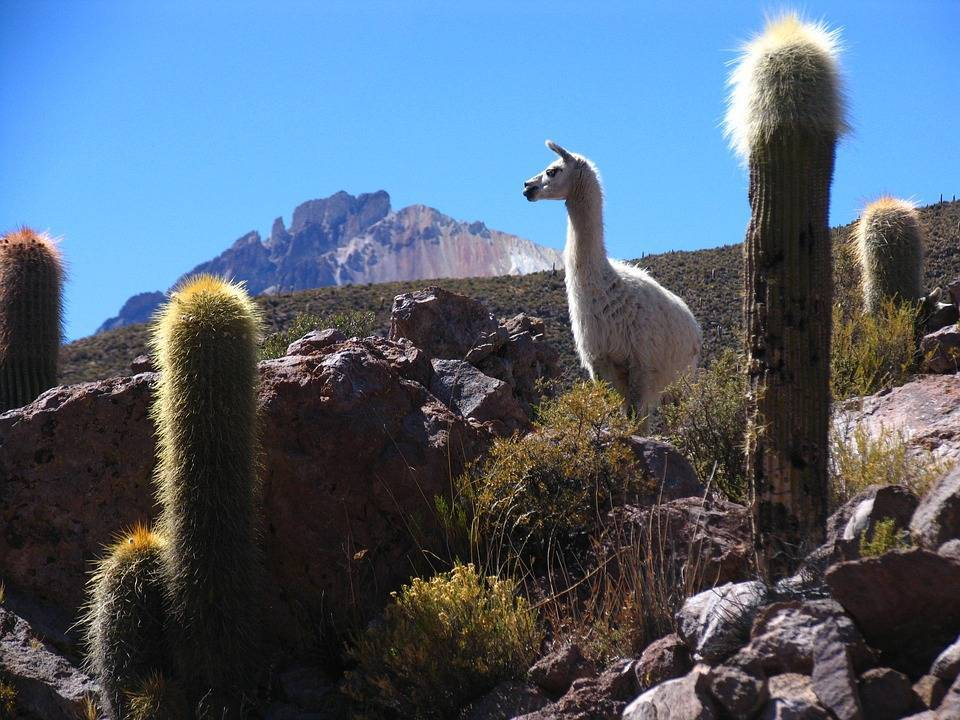 estensione bolivia - cactus - web