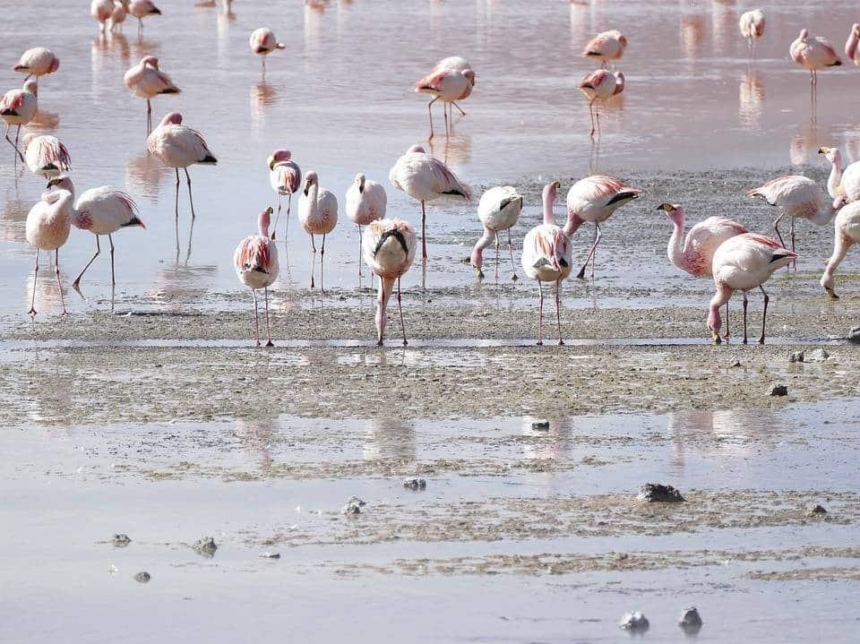 estensione bolivia-flamingo - web